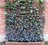 Images of Steel Fence Ivy